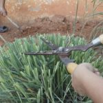 Pruning Lemongrass